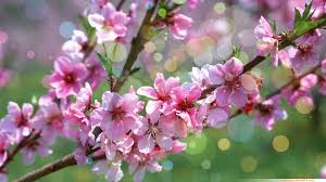 cherry blossom flowers wallpapers wallpaper cherry blossoms flower cherry wallpaper