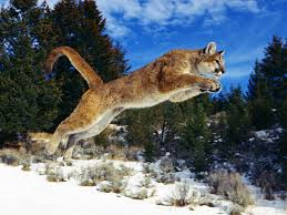 wallpapers puma nature pin animal wild life animals wolf on