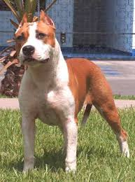 american pit bull terrier vs american staffordshire terrier american staffordshire terrier breed information history health
