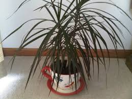 Dracaena Marginata Dracaena Marginata Identified Houseplant 411 How To Identify