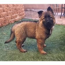 belgian shepherd short hair long short or plush coat german shepherd dog forums