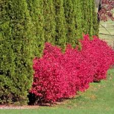 florida landscape plants looking for firebush in south florida