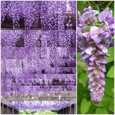 wisteria flower tunnel in japan anime amino