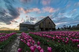 Skagit Valley Tulip Festival Bloom Map Skagit Valley Tulip Festival North Western Images Photos By