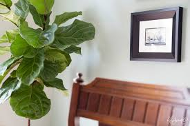 decoration ideas good looking image of potted ficus silk tree