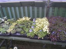 6 pack mixed in 9cm pots alpine plants rock plants rockeries