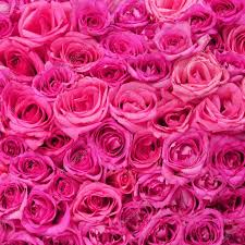 hot pink roses hot pink roses background stock photo guzel 41595055