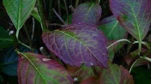 purple hydrangea purple leaf color on hydrangeas what to do for a hydrangea with