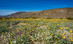 anza borrego super bloom anza borrego desert state park wildflower super bloom travel caffeine