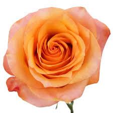 orange roses light orange