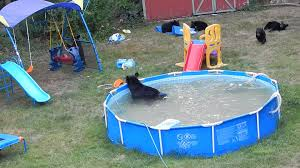 Pool In The Backyard by A Bear Family Takes A Dip In Our Pool Part Iii Youtube