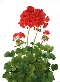 The Geranium On The Windowsill Just Died Just One Of My Favorites Red Geraniums An Easy And Faithful
