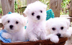 puppies for sale maltese puppies for sale in boca raton south florida heavenly