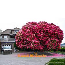 2018 10 seeds pack amazing pink cherry tree japanese