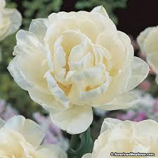 white tulips mount tacoma late tulip american
