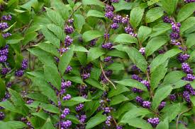 native tennessee plants november plant of the month beautyberry