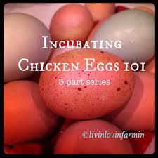 incubating chicken eggs 101 livinlovinfarmin