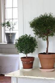 ollie olive tree olea europaea montra is a non