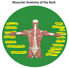 Anatomy Of Human Back Muscles Low Back Pain Or Lumbago Anatomy Causes Symptoms Treatment Pt