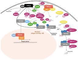 si e social hippopotamus cancers free text ubiquitin dependent regulation of the