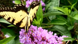 butterfly flowers plants for your butterfly garden