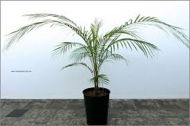 plant weddel palm lytocaryum weddellianum care and fact