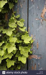 wood overgrown ivy detail plant supple plant climbing plant leaves