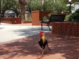 florida chickens are subjects of evolutionary biology research