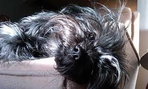 affenpinscher qualities 10 small dogs with big personalities care2 healthy living