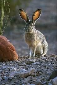 New Mexico wild animals images My fave rabbit a nm jack rabbit great places and things in new jpg