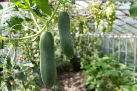 30 second guide to growing cucumbers hillsborough homesteading