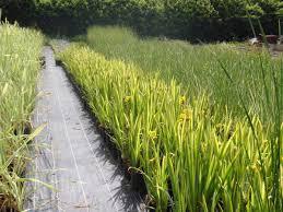native aquatic plants uk home aqualifeltd