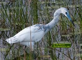 Florida Birds images Birds of florida herons and egrets jpg