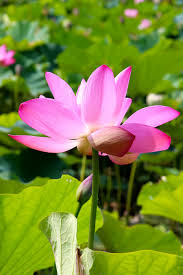 Lotus Flower In Muddy Water - just1stepaway a journey of a thousand miles begins with a single