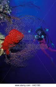 Strawberry Vase Sponge Deepwater Sea Fan Iciligorgia Schrammi Stock Photos U0026 Deepwater