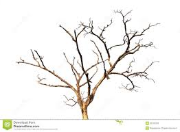 dead tree branch isolated stock photo image of wooden 35702376