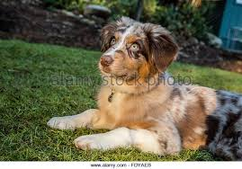 7 month old australian shepherd puppy red merle australian shepherd dog stock photos u0026 red merle