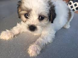 bichon frise shih tzu mix for sale north carolina dog for sale puppies for sale
