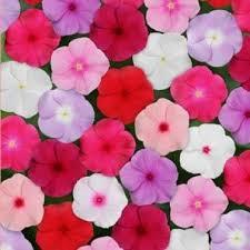 Vinca Flowers Vinca U0027titan Mix U0027 Great In Pots With Lobelia Riviera Sky Blue