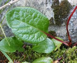 douglas maple acer glabrum pacific northwest native tree alpine pyrola pyrola asarifolia washington plant field guide