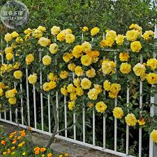 seed of flower climbing plants big flowers promotion shop for