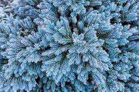 tree identification pictures conifers hgtv