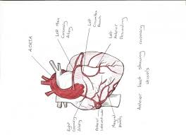 Diagram Heart Anatomy Blank Heart Anatomy Diagram Human Anatomy Chart
