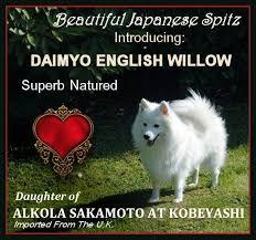 american eskimo dog nz daimyo japanese spitz