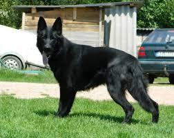 belgian sheepdog breeders pa euro americank9 euro americank9 com