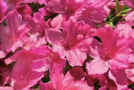 all natural flower food natural plant food for azaleas home guides sf gate