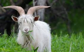 download goat hd wallpapers for free bsnscb graphics