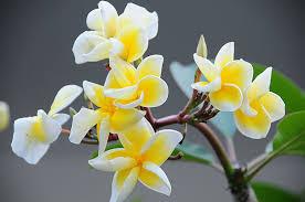 plumeria flower pictures of flowers plumeria frangipani flower