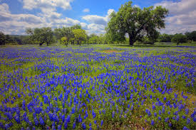 texas hill country blooms in the spring la times