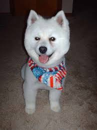 how big is american eskimo dog groomers bbs american eskimo lion cut